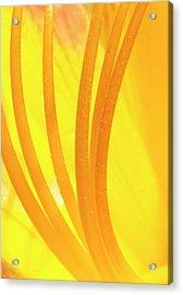 Daylily Stamen Acrylic Print by Steven Ralser