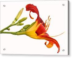 Daylily  Acrylic Print