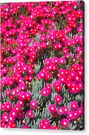 Dazzling Pink Flowers Acrylic Print