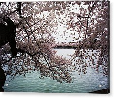 Dc Cherry Blossoms Acrylic Print by Joyce Kimble Smith