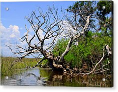 Dead Cedar Tree In Waccasassa Preserve Acrylic Print by Barbara Bowen