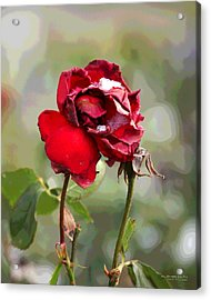 Acrylic Print featuring the digital art December Rose #12 by Brian Gryphon