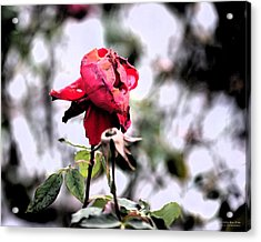 Acrylic Print featuring the digital art December Rose #16 by Brian Gryphon