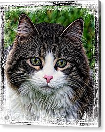 Acrylic Print featuring the mixed media Decorative Maine Coon Cat A4122016 by Mas Art Studio