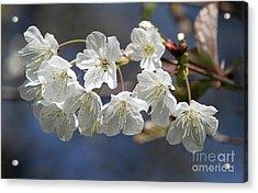 Deep Blue  Cherry Blossom Acrylic Print
