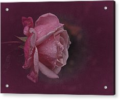 Deep Pink Nov Rose Acrylic Print