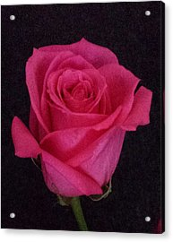 Deep Pink Rose On Black Acrylic Print by Karen J Shine