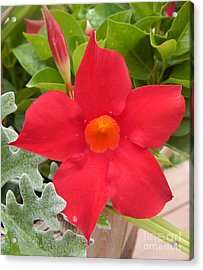 Mandevilla Deep Red Flower Acrylic Print