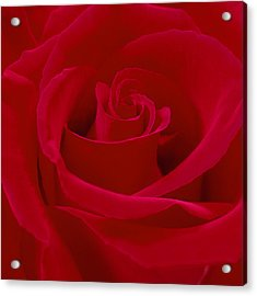 Deep Red Rose Acrylic Print by Mike McGlothlen
