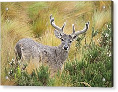 Deer And Native Vegetation Ecuador Acrylic Print by Juan Carlos Vindas