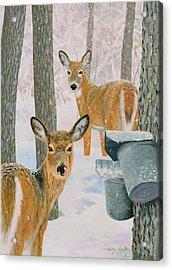 Deer And Sap Buckets Acrylic Print