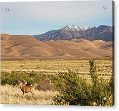 Acrylic Print featuring the photograph Deer And The Colorado Sand Dunes by James BO Insogna