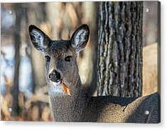Acrylic Print featuring the photograph Deer At The Salad Bar by Paul Freidlund