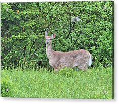 Acrylic Print featuring the photograph Deer by Debbie Stahre