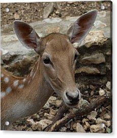 Deer Acrylic Print by Dennis Stein