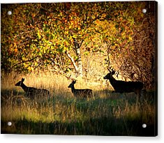 Deer Family In Sycamore Park Acrylic Print