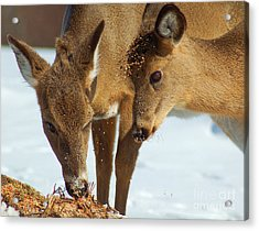 Deer Friends Acrylic Print by Diane E Berry