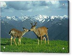 Ma-181-deer In Love  Acrylic Print