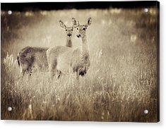 Deer In Sepia Acrylic Print