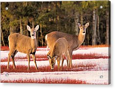 Acrylic Print featuring the photograph Deer In Snow by Debbie Stahre
