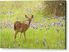 Deer In The Bluebonnets Acrylic Print