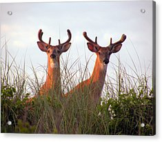 Deer In The Dunes Acrylic Print by Donald Cameron