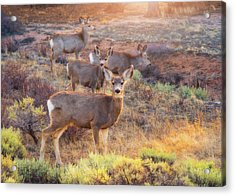 Acrylic Print featuring the photograph Deer In The Sunlight by Darren White