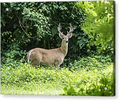 Eastern White Tail Deer Acrylic Print