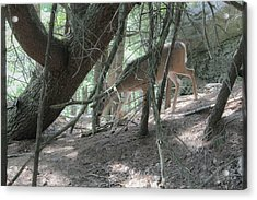 Deer Acrylic Print by Julien Boutin