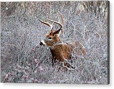 Deer On A Frosty Morning  Acrylic Print by Nancy Landry