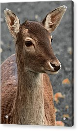 Deer Portrait Acrylic Print