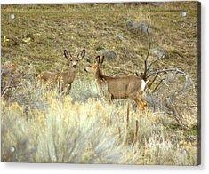 Deer Acrylic Print by Scott Gould