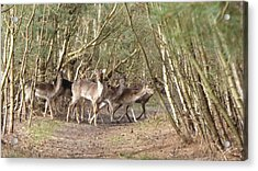Deer Walking Across Forest Path Acrylic Print by Richard Griffin