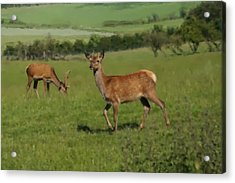 Deers On A Hill Pasture. Acrylic Print