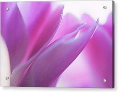 Delicate Beauty Of Cyclamen Flower Acrylic Print