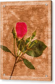 Delicate Bloom - Textured Rose Acrylic Print by Barry Jones