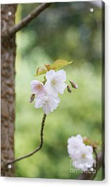 Acrylic Print featuring the photograph Delicate Blossom by Tim Gainey