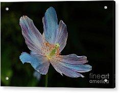 Delicate Blue Acrylic Print