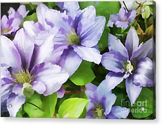 Delicate Climbing Clematis  Acrylic Print by Judy Palkimas