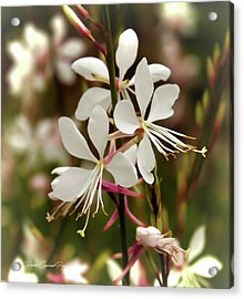 Delicate Gaura Flowers Acrylic Print