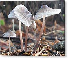 Delicate Mushrooms Acrylic Print by Shannon Gresham