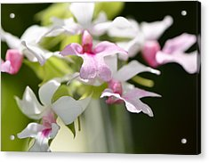 Delicate Orchids By Sharon Cummings Acrylic Print by Sharon Cummings