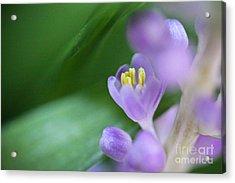 Delicate Purple Flower Acrylic Print by Ryan Kelly
