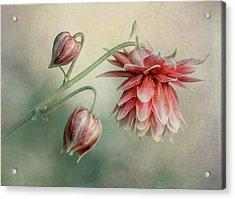 Delicate Red Columbine Acrylic Print