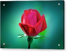 Delicate Rose Petals Acrylic Print