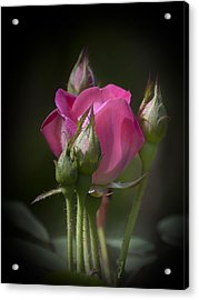 Delicate Rose With Buds Acrylic Print