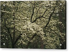 Delicate White Dogwood Blossoms Cover Acrylic Print by Raymond Gehman