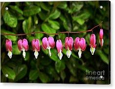 Delightful Bleeding Hearts Flowers Acrylic Print