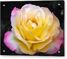 Delightful Blushing Rose  Acrylic Print