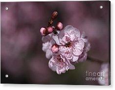Delightful Pink Prunus Flowers Acrylic Print